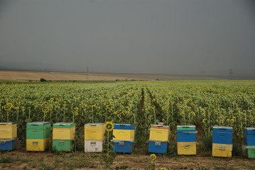 bee hives front of a sunflower field