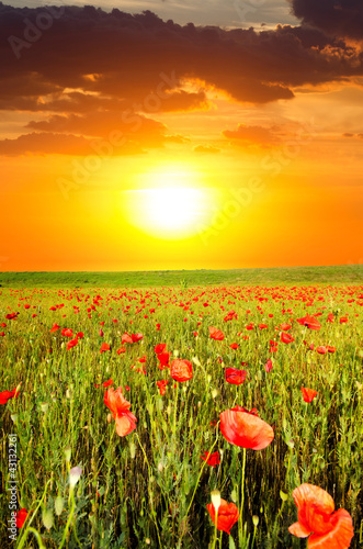 field with poppies