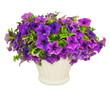 canvas print picture - Pétunias violets