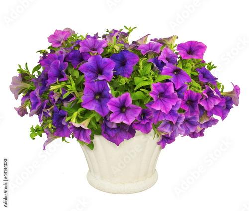 canvas print picture Pétunias violets