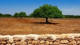 Agriculture in Mediterranean of fig tree in island of Ibiza