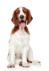 Welsh springer spaniel dog