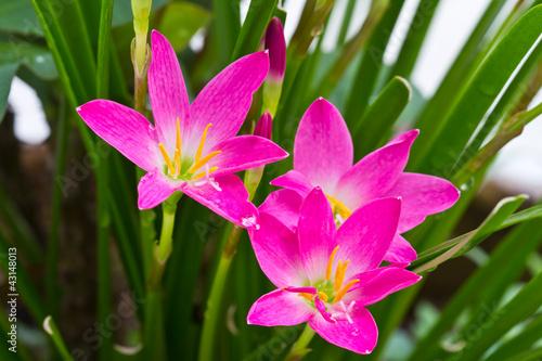 purple rain lily flower ,Thailand