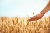 Fototapety Hand in wheat field