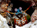 Fotoroleta Peacock Mantis shrimp
