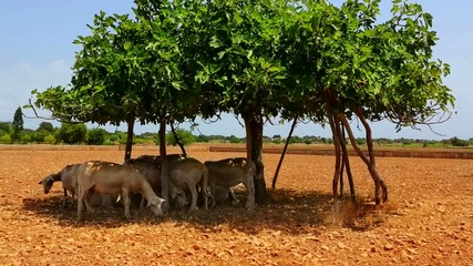 Flock of sheep under a fig tree shadow in formentera