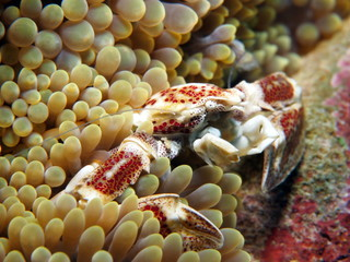 Porcelain crab 2