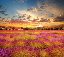 Stock Photo: Beautiful lavender field at sunset time