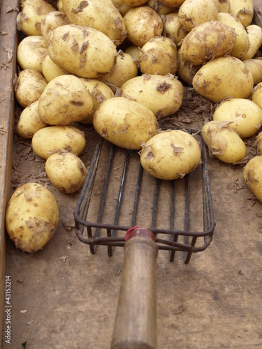 New potatoes with shovel