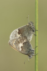Small Heath Butterflies mating.