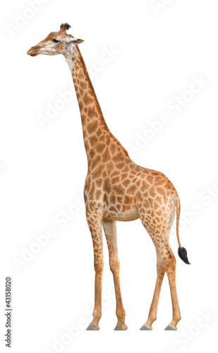 Plexiglas Giraffe Giraffe walking on a white background