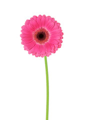 flower gerbera on a white background