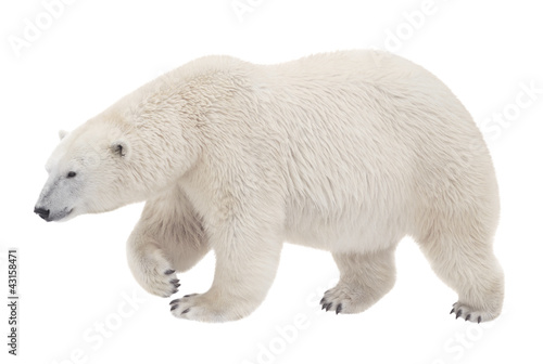 Papiers peints Ours Blanc bear walking on a white background