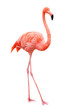 Leinwandbild Motiv Bird flamingo walking on a white background