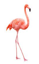 "Постер, картина, фотообои ""Bird flamingo walking on a white background"""