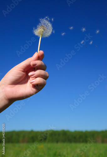 dandelion in the women hand