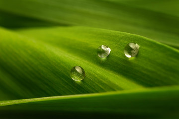 Three drops of water on a green leaf