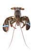 Fresh living lobster