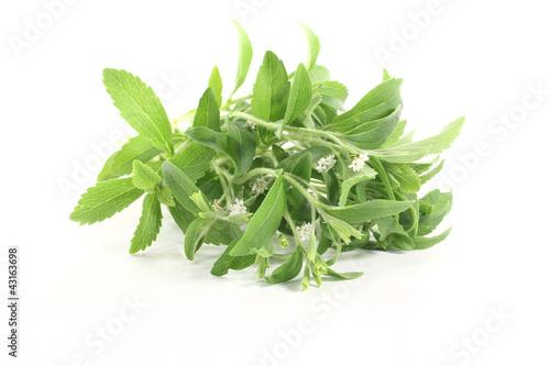 Stevia mit weißen Blüten