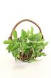 frisches grünes Stevia