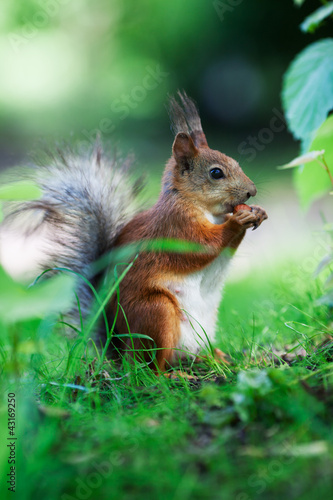 Foto op Canvas Eekhoorn Eurasian red squirrel (Sciurus vulgaris)