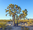 joshua tree in warm bright light