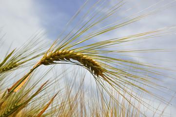 ear of barley grain