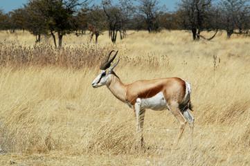 Namibia. Etosha National Park springbok