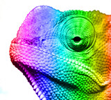 Macro of multi colored cameleon