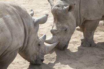 Dominanzkampf zwischen Nashörnern