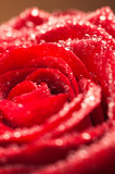 deep red rose frower background with water drops, shallow DOF