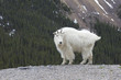 Canadian Rocky Mountain Goat