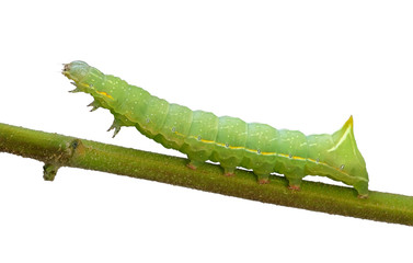 caterpillar on the branch