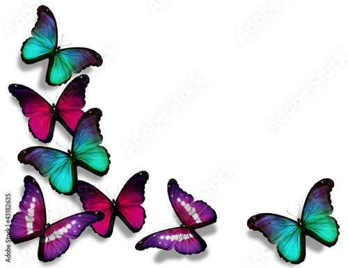 Vinous blue morpho butterflies, isolated on white background