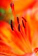 Fototapeta Lilia - Kwiat - Kwiat
