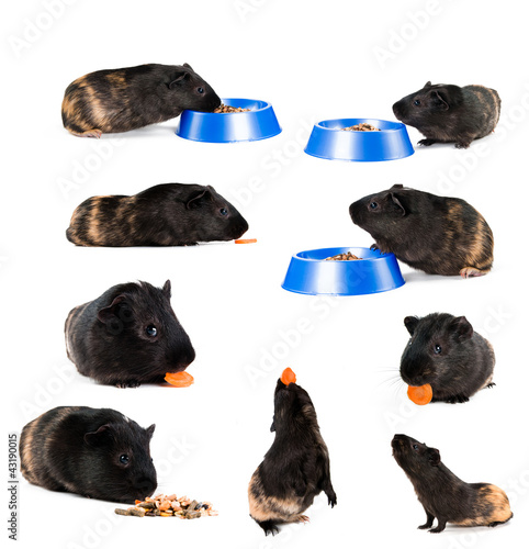 set of guinea pigs