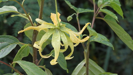 Ylang-Ylang flower on tree