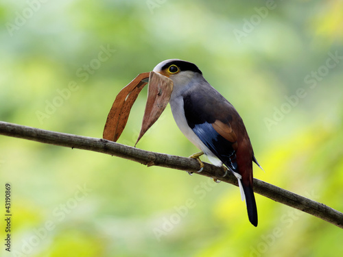 Serilophus lunatus (silver-breasted broadbill)