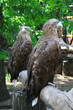 Two eagles sitting on a tree trunk