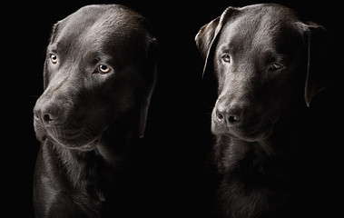 Two handsome chocolate labradors