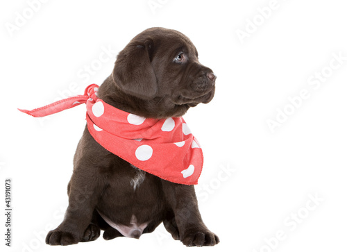 Chocolate Labrador Puppy in Neck Scarf