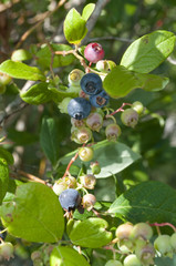 High-bush Blueberries