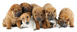 A group of four shar pei dogs and Jack Russell terrier
