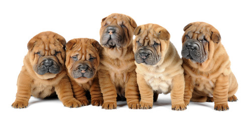 A group of five shar pei dogs