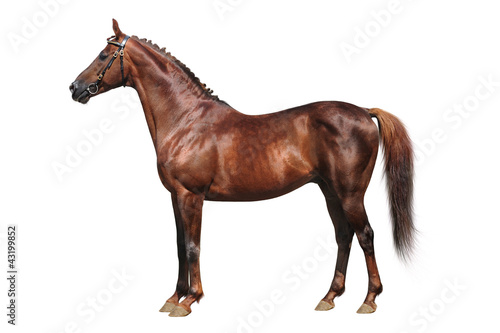 Trakehner horse on a white background