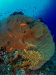 Gorgonian and anthias