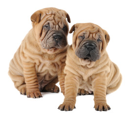 Two Shar pei puppies  in studio