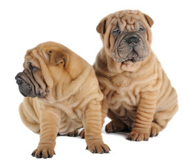 Two Shar pei puppies  in studio