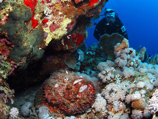 Fat stonefish and diver