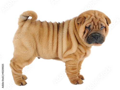Shar pei puppy  in studio